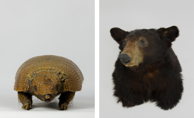 Armadillo en zwarte beer