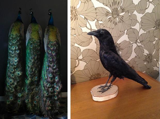 Struisvogels en zwarte raaf