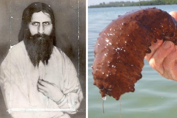 Raspoetin zeekomkommer