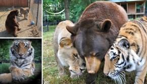 Dieren leeuw tijger beer liefde go with the vlo